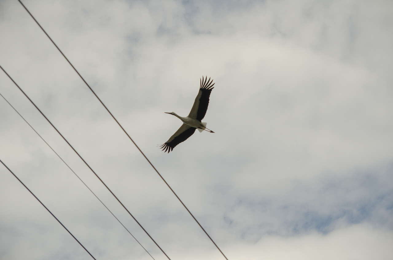 Endangered Oriental Stork flies above a farm in Shikoku